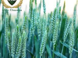 Семена озимой пшеницы Нови Сад Симонида НС 40С НС Футура
