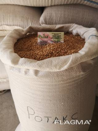 Семена озимой пшеницы Ротакс