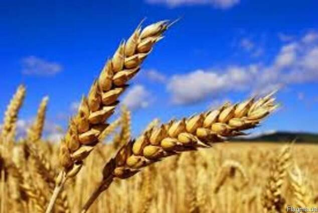 """Семена озимой пшеницы сорт """"Шестопаловка"""" 1 репродукция"""
