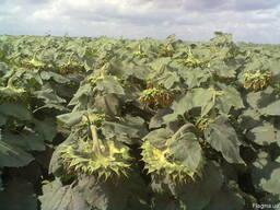 Семена подcолнечника Creston FS 799 канадский гибрид Донецк