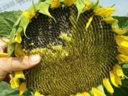 Семена подсолнечника НСХ 7370 под Гранстар