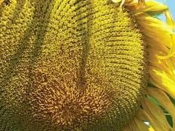 Семена подсолнечника 8Х288КЛДМ от производителя Дау Сидс (Do