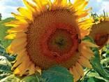 Семена подсолнечника 8Н358КЛДМ от производителя Дау Сидс (Do - фото 1