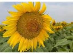 Семена подсолнечника ес альфа