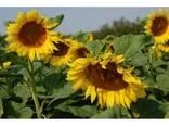 Семена подсолнечника Алексей Стандарт под гранстар - фото 2