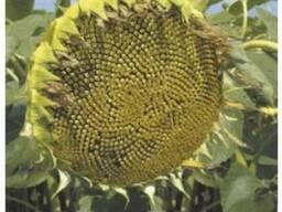 Семена подсолнечника Анастасия - photo 2