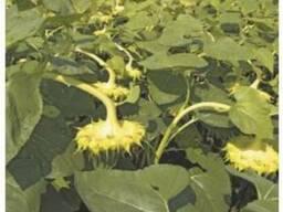 Семена подсолнечника Анастасия - photo 3