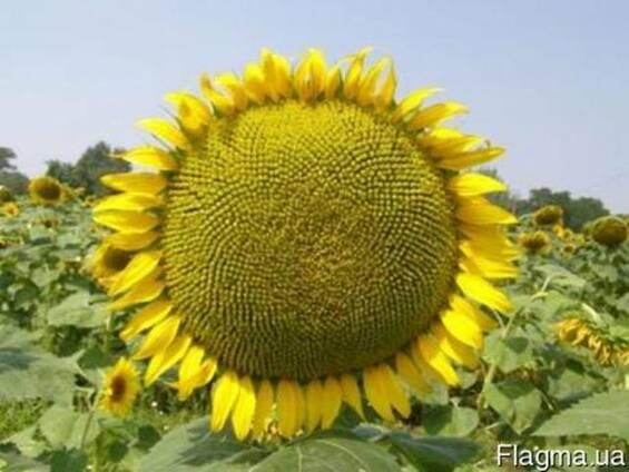 Семена подсолнечника Антей устойчив к гранстару