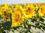 Семена подсолнечника Антей устойчив к гранстару - фото 2