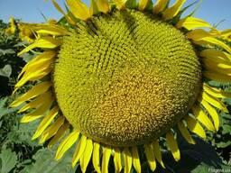 Семена подсолнечника -Армагедон