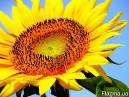 Семена подсолнечника Армагедон (до евро-лайтнингу) 1650грн
