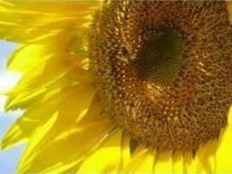 Семена подсолнечника Барса, под гранстар