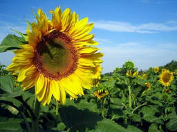 Насіння соняшнику Сангай