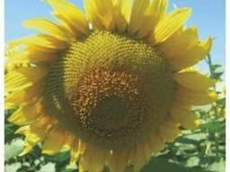 Семена подсолнечника Бомбардиер
