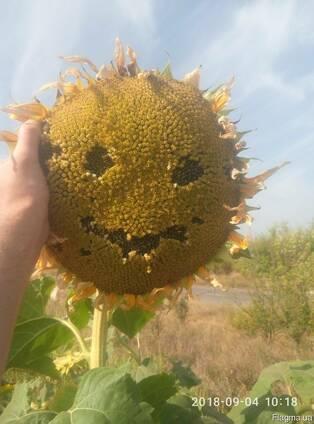 Семена подсолнечника Бомонд