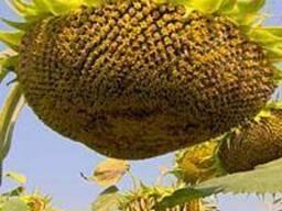 Семена подсолнечника Бонд (до гранстару) 900грн