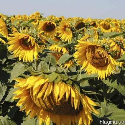 Семена подсолнечника Бонд (гранстар) F1 Украина