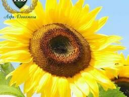 Семена подсолнечника Фрагмент