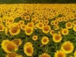 Посівний, соняшник флорімі, євролайтінг, гранстар - фото 2