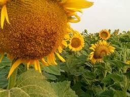 Семена подсолнечника Аракар, под Евролайтнинг, Гранстар - фото 3