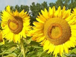 Семена подсолнечника гибрид Фолк (А-F) под 50гр. Гранстара\