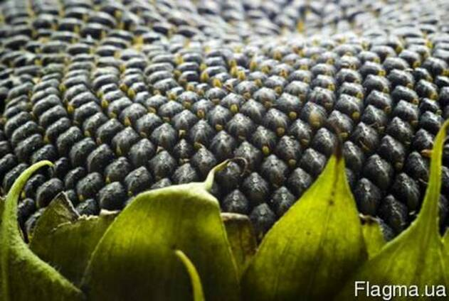 Семена подсолнечника Масличный гибрид Элита, насіння соняшник