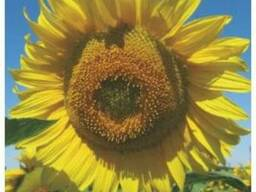 Семена подсолнечника Гольфстрим