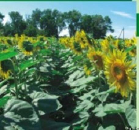 Семена подсолнечника Гольфстрим (Сербия)