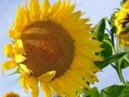 Семена подсолнечника Ларисса (Кволити Кропс, НВТ Насіння)