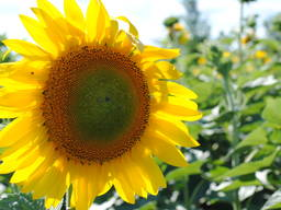 Семена подсолнечника – СИ Барбати КЛ Кру ( Сингента)