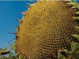 Семена подсолнечника Лимагрейн ЛГ 5580 LG оригинал