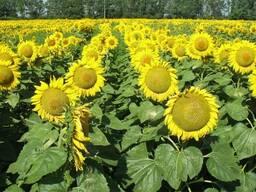 Семена подсолнечника Лиман ОР, устойчив к 7 рас заразихи