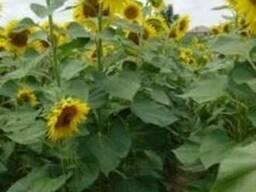 Семена подсолнечника МАС 97 А (Maisadour)