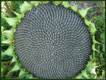 Семена подсолнечника Ясон - фото 1