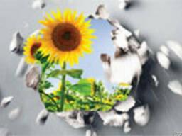 Семена подсолнечника НК Долби