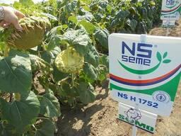 Семена подсолнечника НС-Х-1752 Устойчив к гранстару