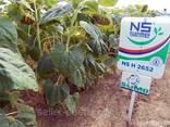 Семена подсолнечника НС Х 2652 (Гранстар) - photo 2