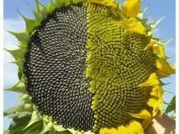 Семена подсолнечника НС Х 26749