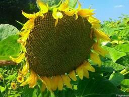 Семена подсолнечника НС Сумо-2017 гибрид под Гранстар