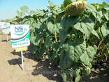 Семена подсолнечника НС Таурус (Евро-лайтнинг) - photo 4