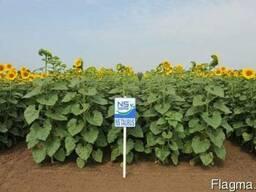Семена подсолнечника НС Таурус Сербия (Евро- лайтинг)