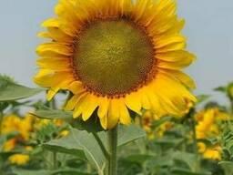 Семена подсолнечника НС Таурус (толерантен к евролайтнингу)