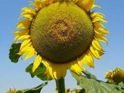 Семена подсолнечника НСХ 1749
