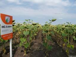Семена подсолнечника НСХ-6044 OR устойчив к 6 расам заразихи