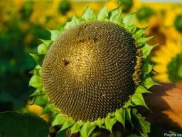 Семена подсолнечника Базальт (F-1, экстра)