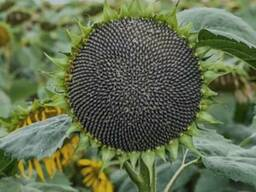 Семена подсолнечника под 50гр. гранстара НСХ 494(А-F)