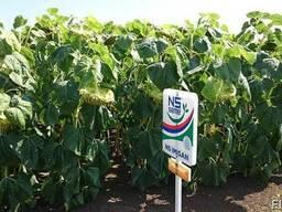 Семена подсолнечника под Евро-Лайтинг НС Имисан