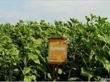 Семена подсолнечника под гербицид Експресс, Евро-Лайтинг. - photo 5