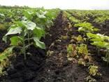 Семена подсолнечника под Гранстар Антей премиум - фото 2