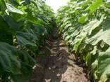 Семена подсолнечника под Гранстар Антей премиум - фото 3